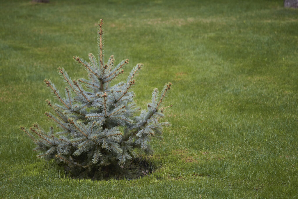 Young magnificent Christmas tree without decoration on green lawn,