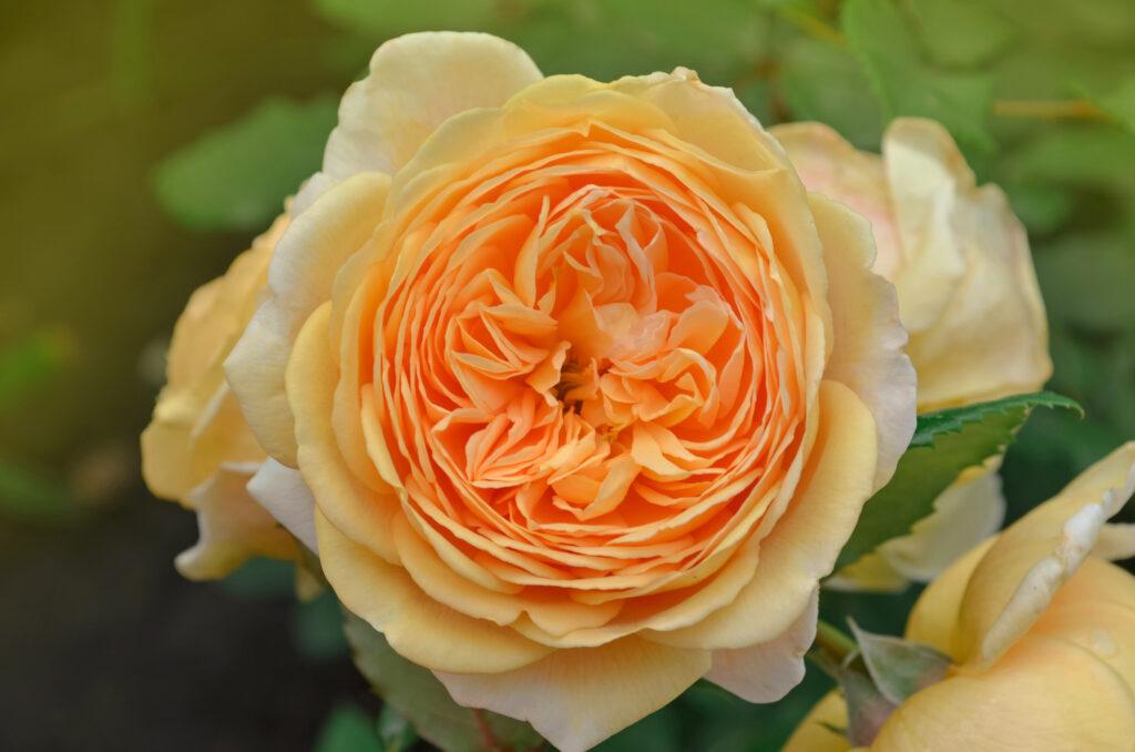 English roses Crown Princess Margareta