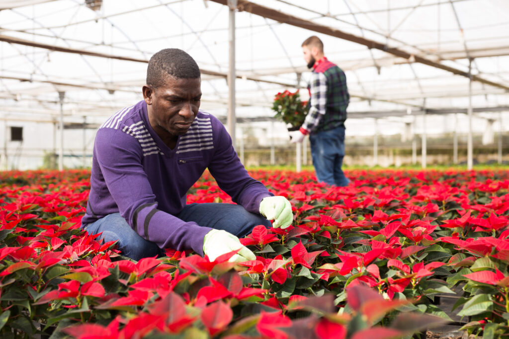 A man choosing a poinsettia at a garden center