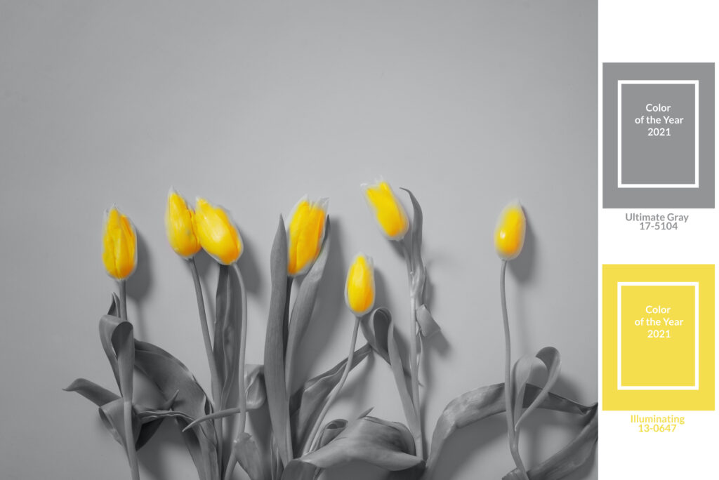 Yellow tulips bouquet. Colors yellow and gray , Color of the year of 2021 Illuminating , Ultimate Gray.