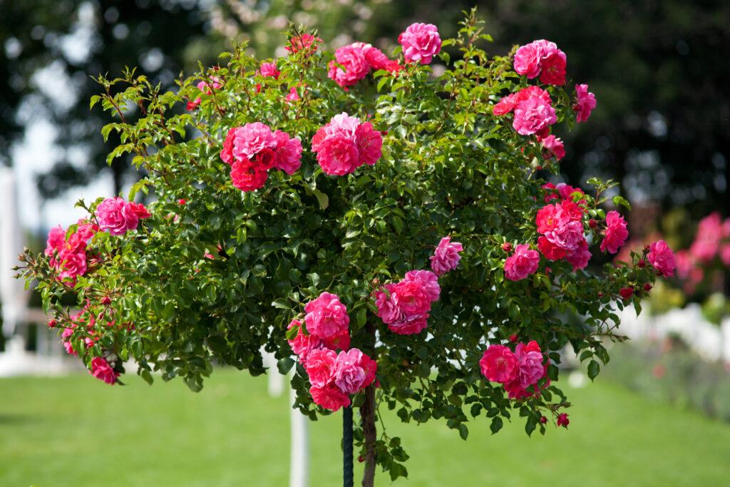 Pink tree rose