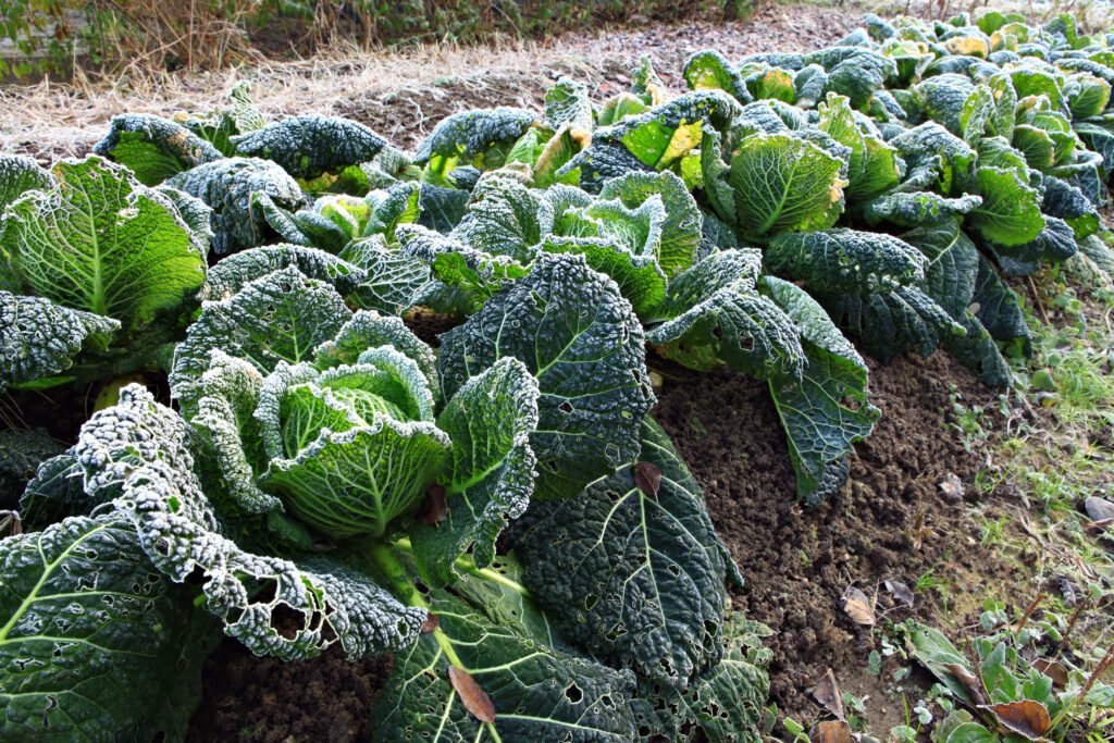 Savoy cabbage covered with frost.