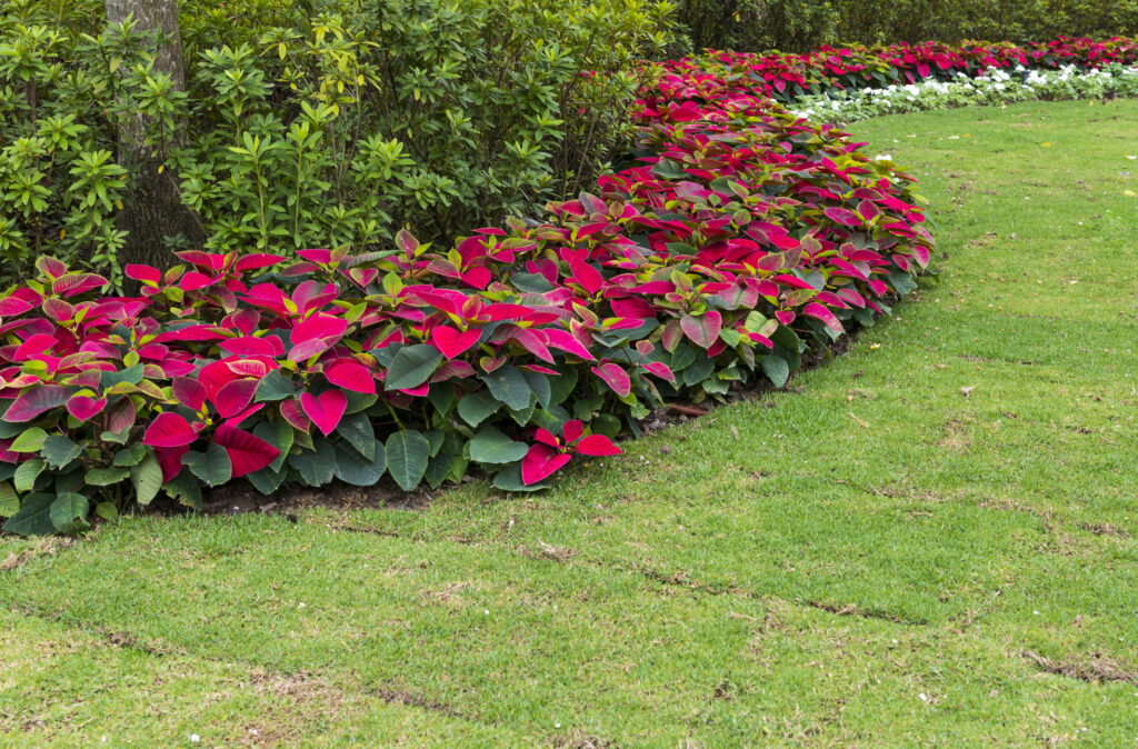 Poinsettia garden, Green grass, garden