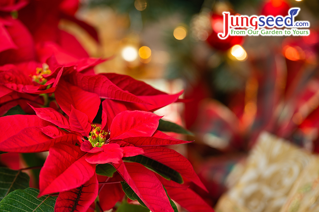 Beautiful red Poinsettia (Euphorbia pulcherrima), Christmas Star flower. Festive red and golden holiday background with Christmas decorations and presents.