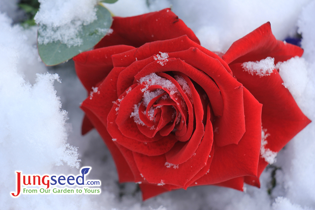 Winter Rose Care