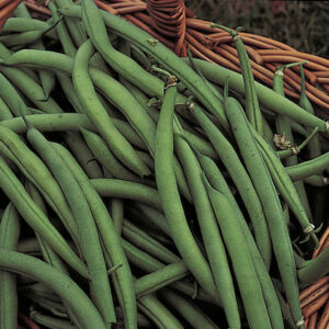 Green bush beans