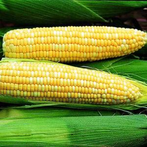 Sweet bi-color corn