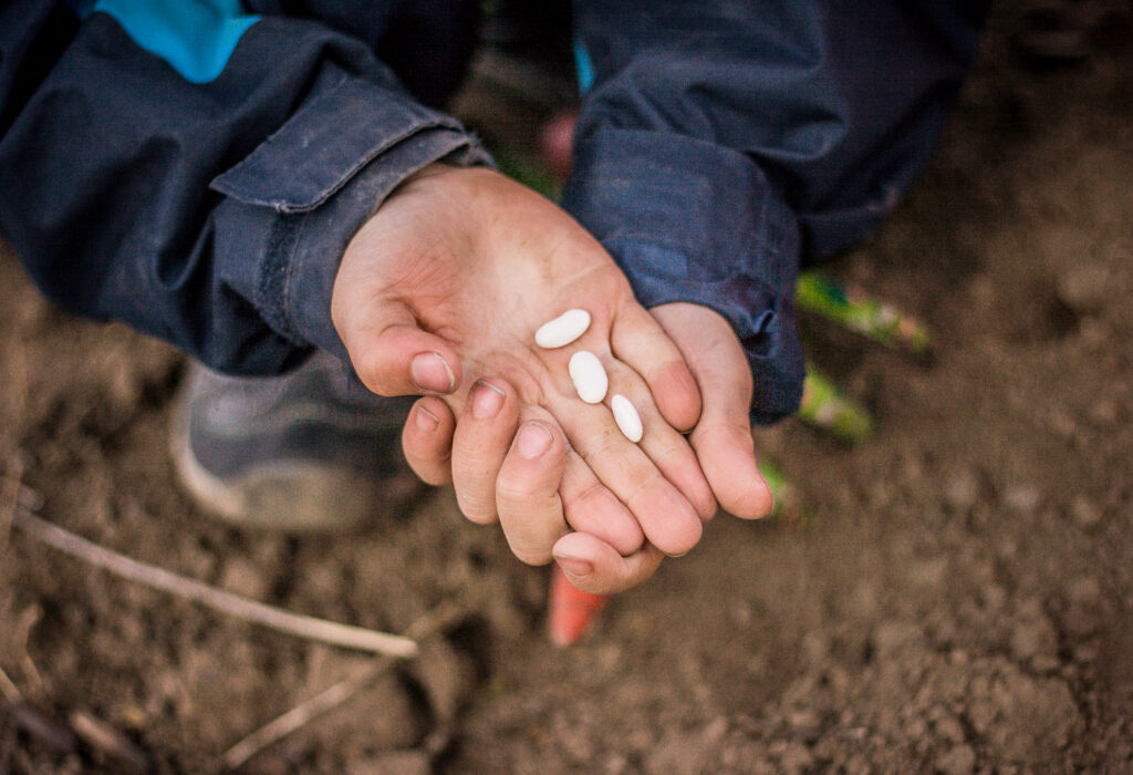 child hands in planting green beans seed