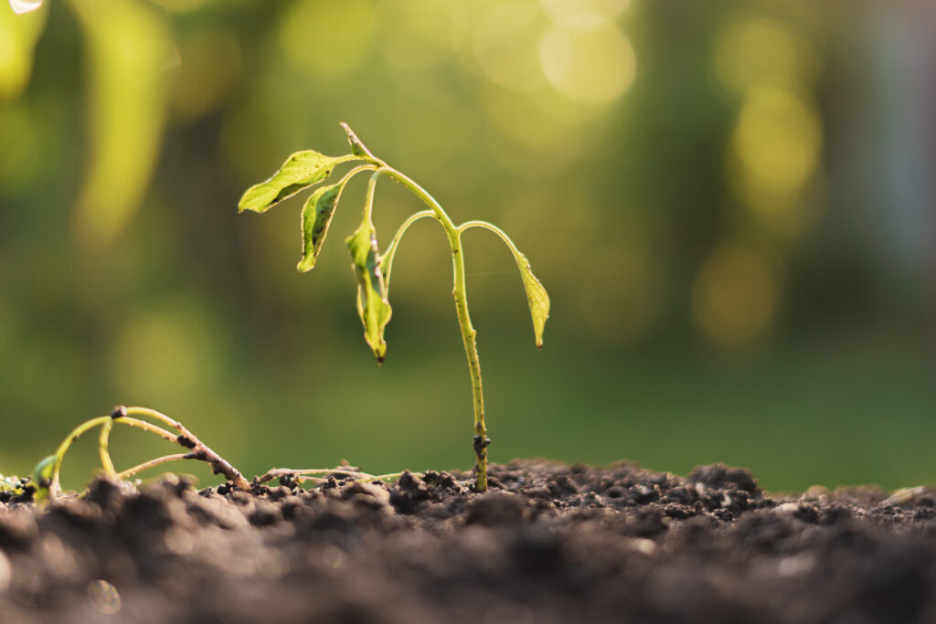 dying withered sprout in earth, drought season climate