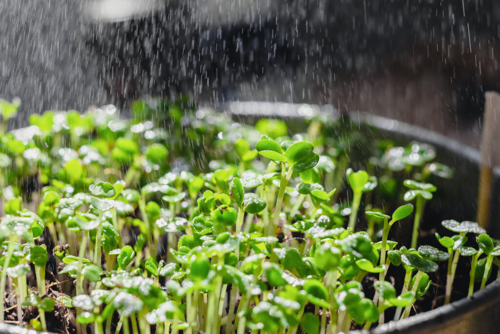 Spraying water onto microgreens
