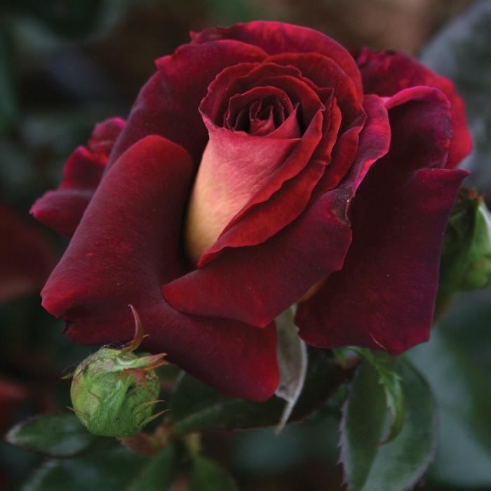 Dark Knight Hybrid Tea Rose