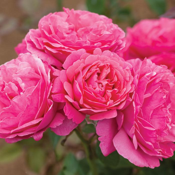 Dee-Lish Hybrid Tea Rose