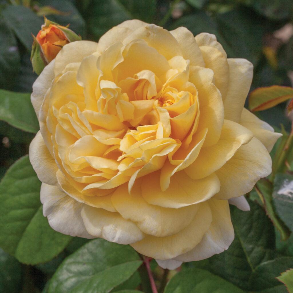Moonlight Romantica Hybrid Tea