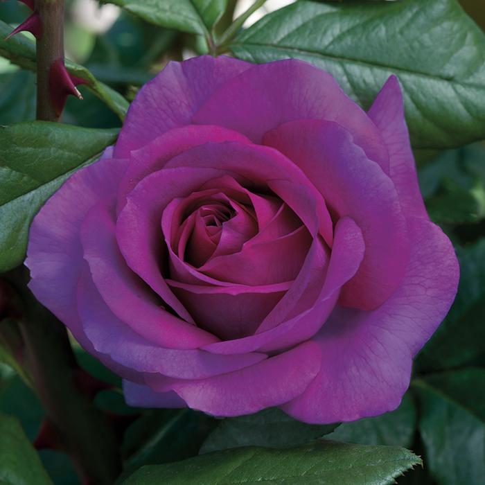Perfume Factory Hybrid Tea Rose