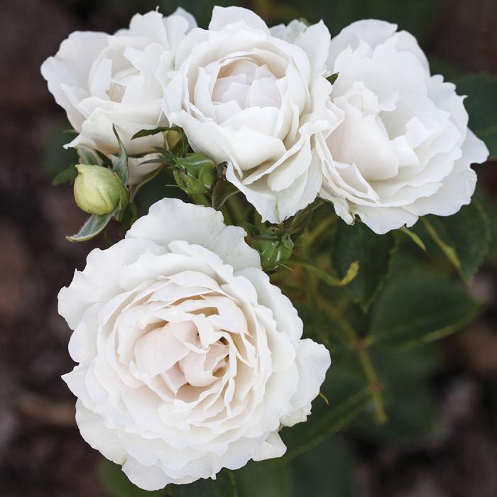 Icecap Shrub Rose