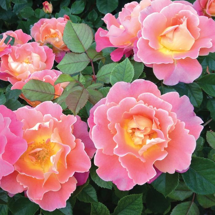 Save Fruity Petals Climber Rose