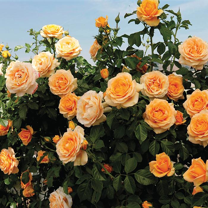 Golden Opportunity Climbing Rose