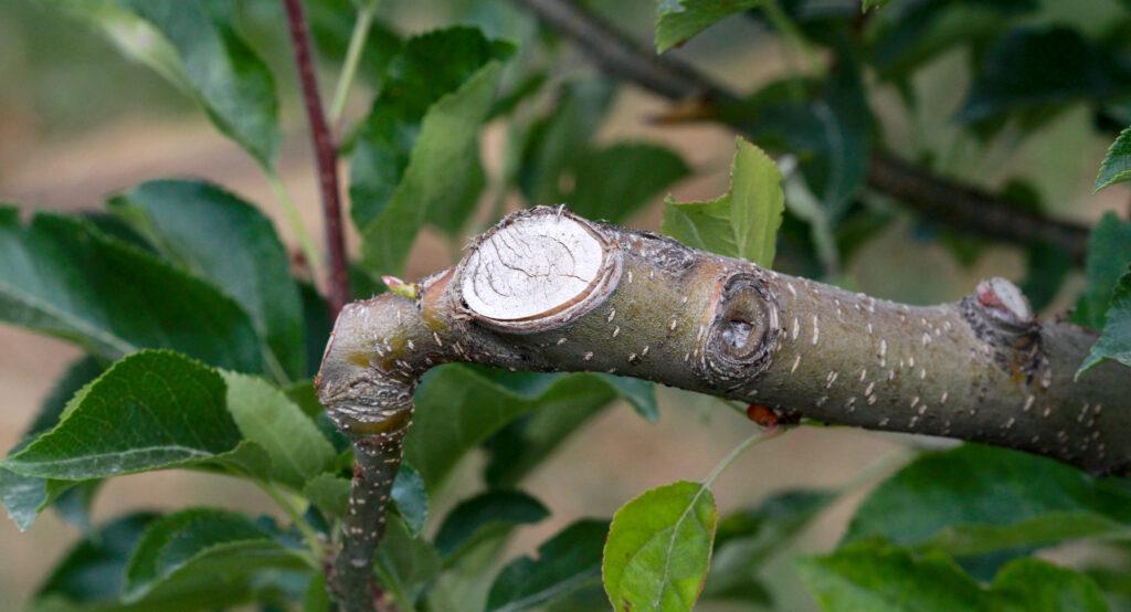 Pruned branch of an apple tree in june