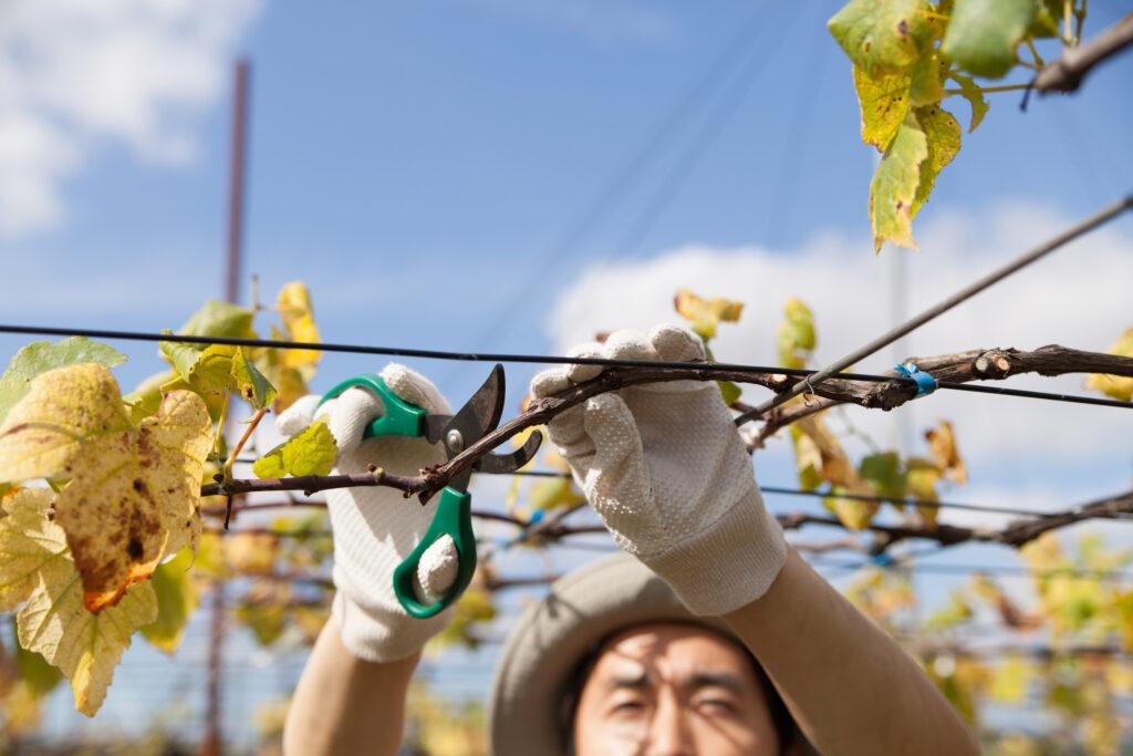 pruning grape vine