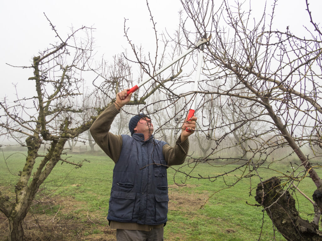 Pruning a young apple tree with garden secateurs in the autumn garden