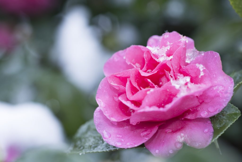 Pink Camellia in snow