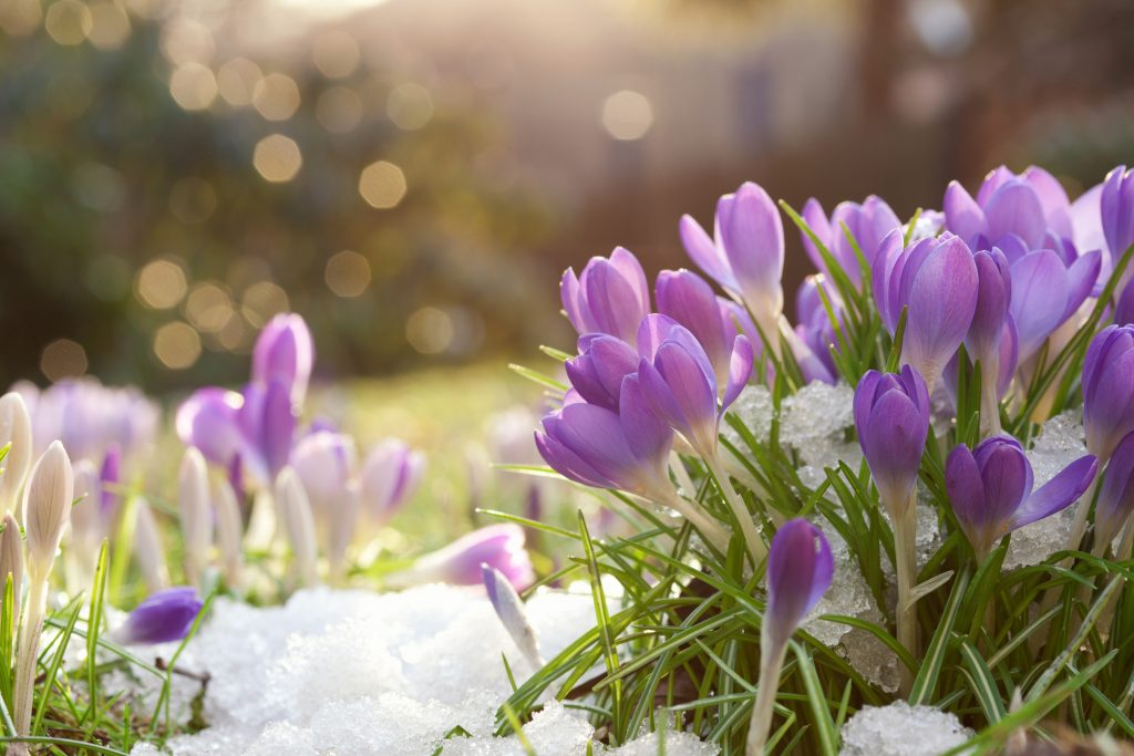 Crocus in spring snow