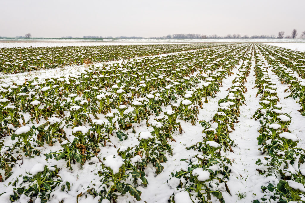 Field with organic cultivated Broccoli plants covered with snow