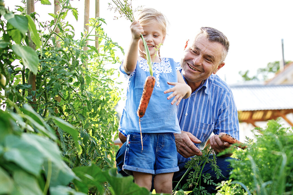 Granddaughter is picking up carrot with her grandfather in the garden.