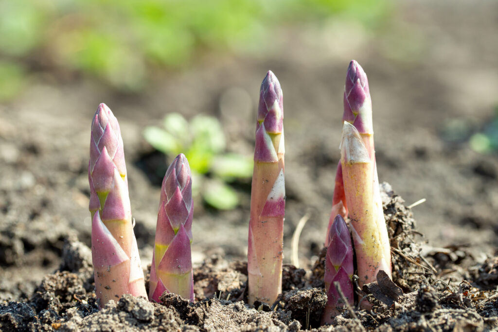 Young organic asparagus grows in a vegetable garden. useful and expensive farm product.