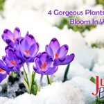 purple crocuses sprout from the snow