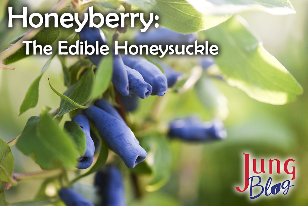 Honeyberry: The Edible Blue Honeysuckle