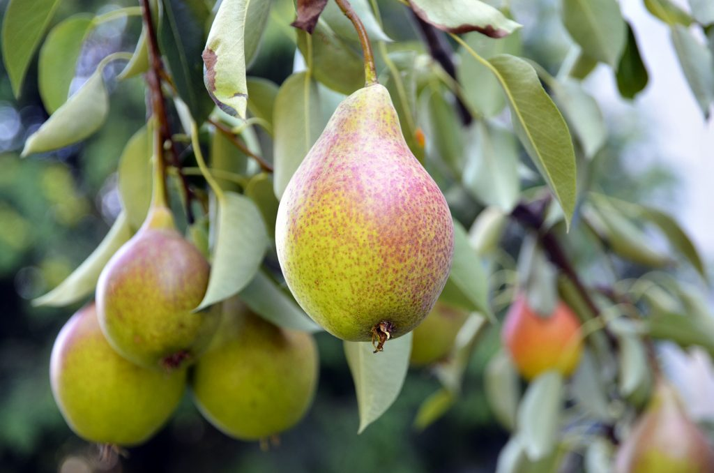 Ripe organic pears in the garden on a branch of pear tree.Juicy flavorful pears of nature background.Summer fruits garden.Autumn harvest season.