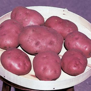 Pontiac potatoes in a basket