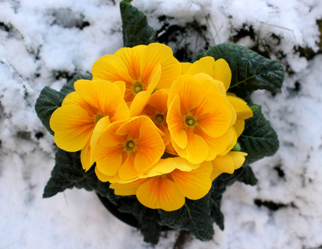 Yellow primose growing in snow