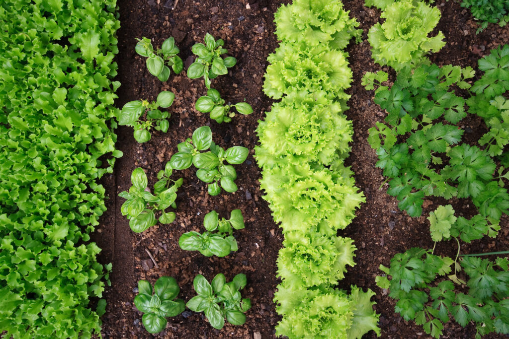 vegetable garden seen from above, with small seedlings of lettuce, parsley, and basil.