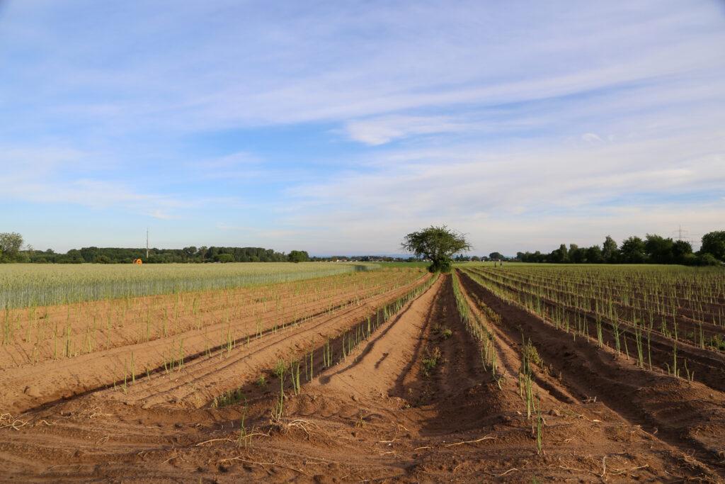Field rows of Asparagus