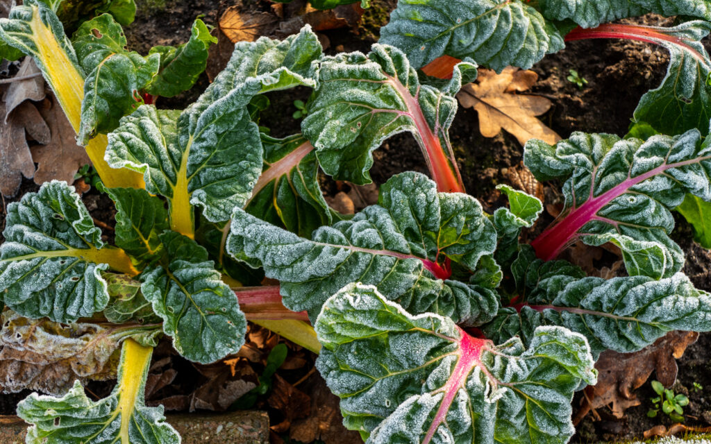 Swiss chard covered in frost