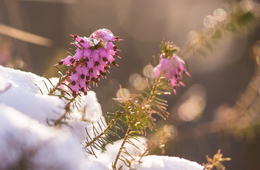 Pink winter heath growing in snow