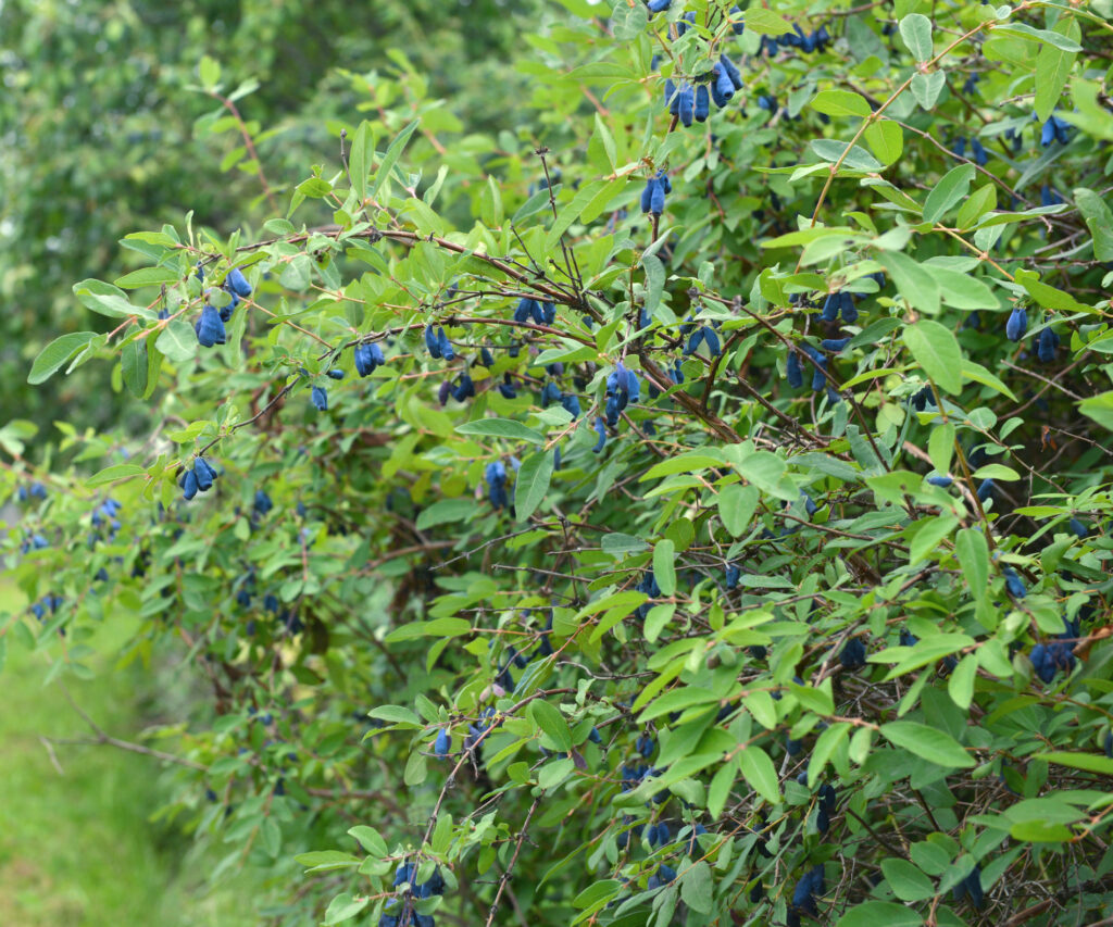 Summer background with honeyberries in the garden, ripe berries on the bush