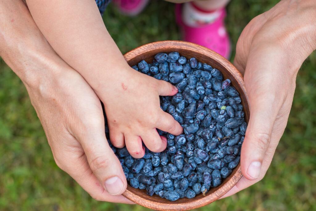 Harvest of Haskap berries, Lonicera caerulea, also calles honeyberries, blue berry honeysuckle or sweetberry honeysuckle