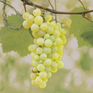 Brianna Grapes