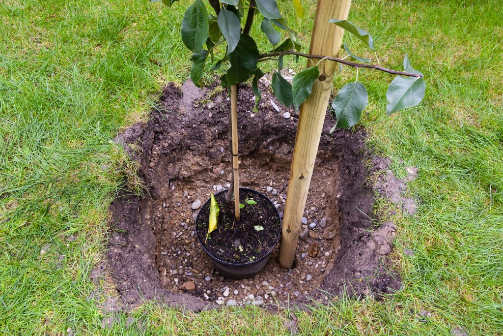 An apple young plant is a hole prepared in garden soil