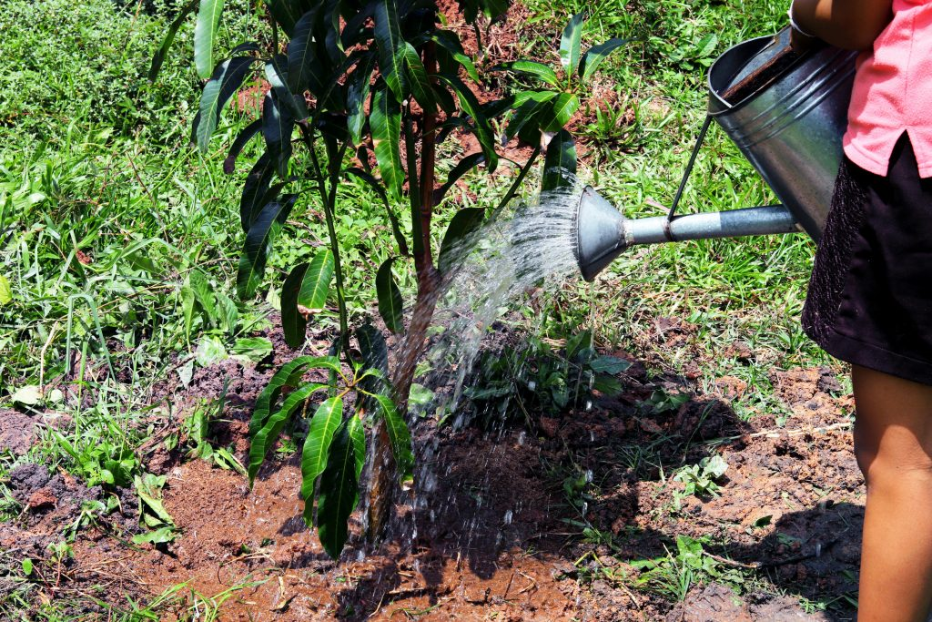 Young girl is watering a young mango tree