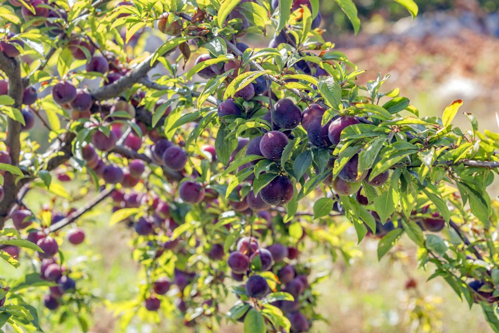 A tree full of ripe plums