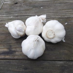 Italian Late Garlic
