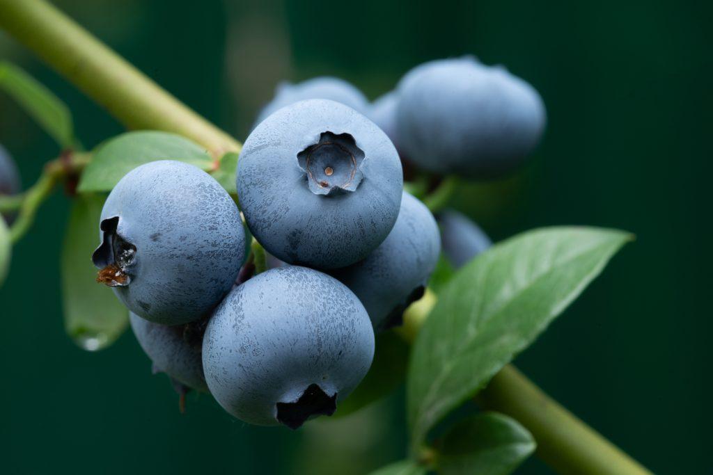 Large ripe dark blue-black blueberry berries on a bush. Selective focus.