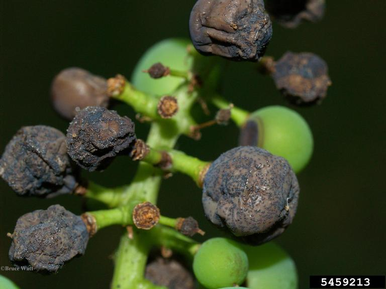 Black Rot on Grapes