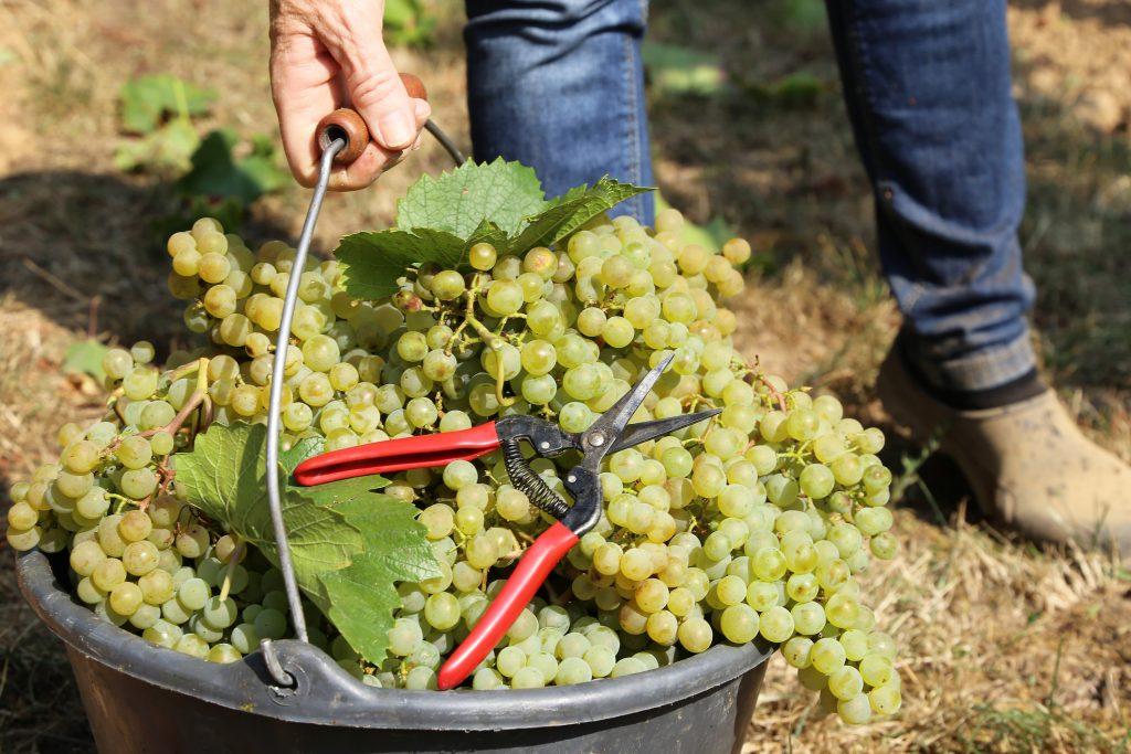 Hand harvesting, manual grape harvesting