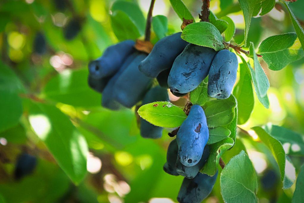 Closeup of a honeyberry tree full of ripe blue berries