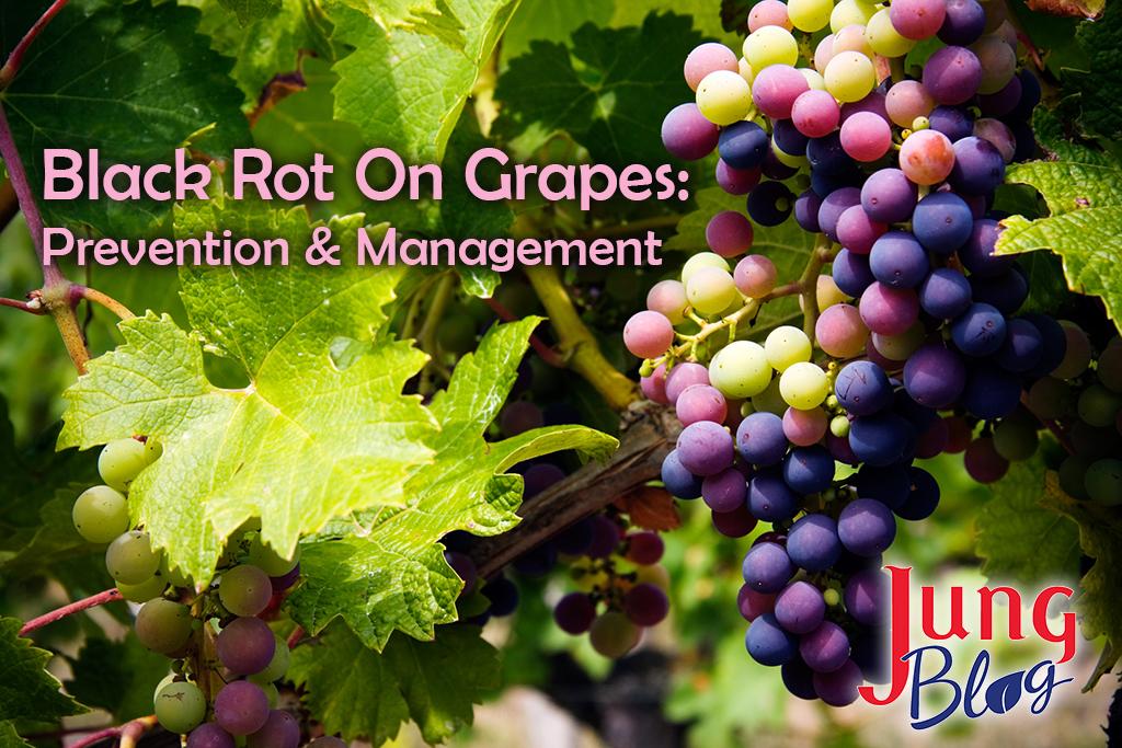 Black Rot On Grapes: Prevention & Management